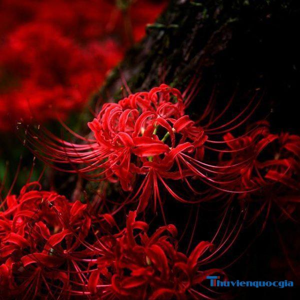 Ý nghĩa hoa bỉ ngạn? Tìm hiểu truyền thuyết hoa bỉ ngạn